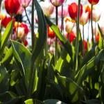 Multi colored tulips — Stock Photo #7209237