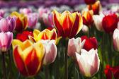 Beautiful tulips — Stock Photo
