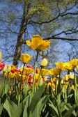 Garden of tulips — Stock Photo