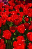 Closeup of flower, tulip — Stock Photo