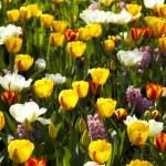 Multi colored tulips — Stock Photo #7210005