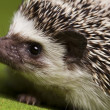 Hedgehog — Stock Photo #7210343