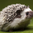 Hedgehog — Stock Photo #7210512
