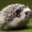 Hedgehog — Stock Photo #7210512