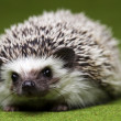 Hedgehog — Stock Photo #7210902