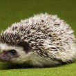 Hedgehog — Stock Photo #7211032