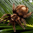 Big Tarantula - Stock Photo