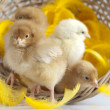 Cute little chick — Stock Photo