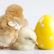 Stock Photo: Cute little chick