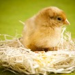 Baby chick — Stock Photo