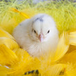 Easter young chick — Foto de Stock