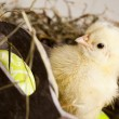 Stock Photo: Easter young chick