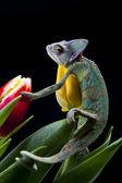 Tulip and Chameleon — Stock Photo