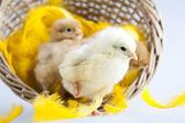 Cute little chick — Stock Photo