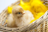 Young Chick Portrait — Stock Photo