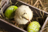 Easter young chick — Stock Photo