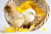 животное пасха, цыпленок — Стоковое фото