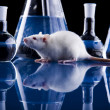 Stock Photo: Laboratory rat