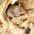 Bread and mouse — Stock Photo