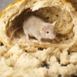 Mouse and bread — Stock Photo