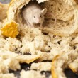 Stock Photo: Mouse and bread