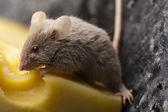 забавная крыса — Стоковое фото