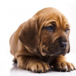 Puppy — Stock Photo