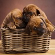 Puppies, wicker basket — 图库照片
