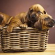 Puppies, wicker basket — Stock Photo #7764855