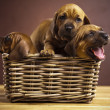 Puppies, wicker basket — Stock Photo #7765070
