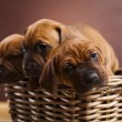 Puppies, wicker basket — Stock Photo #7765401
