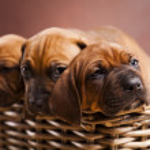 Puppies, wicker basket — Stock Photo #7765441