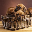 Puppies, wicker basket - Stock Photo