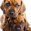 Stock Photo: Baby dogs