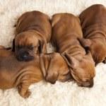 Sleepy Puppy — Stock Photo #7766704