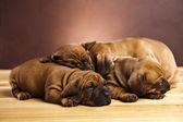 Filhote de cachorro com sono — Foto Stock