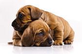 Puppies amstaff,dachshund — Stock Photo