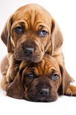Cani di bambino — Foto Stock