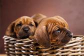 Puppies, wicker basket — Stock Photo