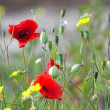 Poppies flowers — Stock Photo