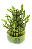 Green bamboo plant — Stock Photo