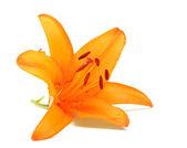 Giglio arancia — Foto Stock