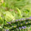 Alfalfa butterfly — Stock Photo