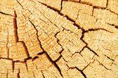 Borovice textura — Stock fotografie