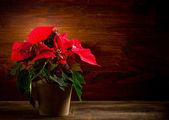 Poinsettia — Stok fotoğraf