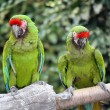 Military Macaws (Ara Militaris) — Photo