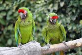 Military Macaws (Ara Militaris) — Stock Photo
