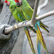 Military Macaws (Ara Militaris) — Stock Photo