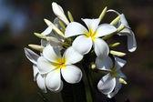Frangipane flower — Stock Photo