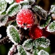 Winter holly berrie — Stock Photo